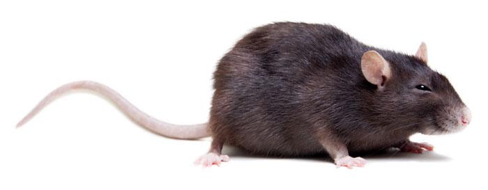 animal-rat