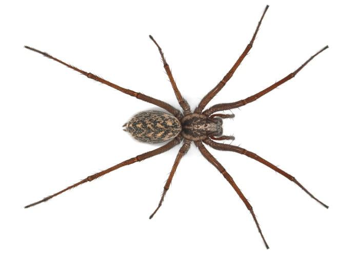 araignée commune