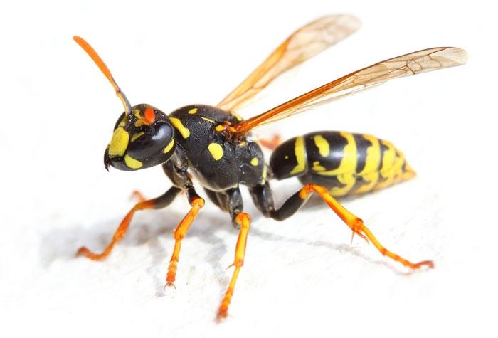 insectes piqueur -guêpe