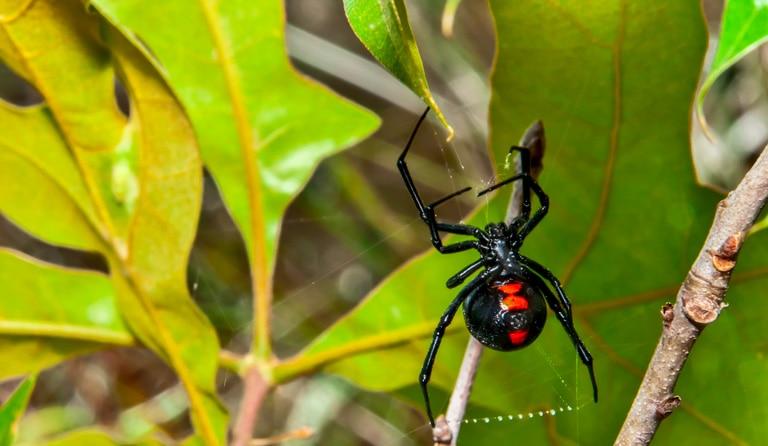 Araignée veuve noire sur une feuille